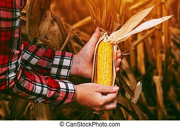 玉米, 成熟, 谷田, cob, 農夫, 准備好, 收穫