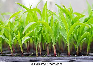 玉米, 秧苗, 上, 托盤, 在, 溫室