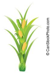 玉米, cobs