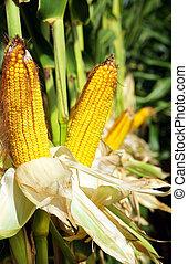玉米, field.