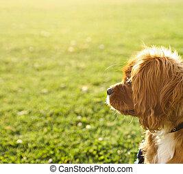 王, チャールズ, (tan), 無頓着である, 子犬, ルビー