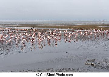 玫瑰色, 火烈鳥, 殖民地, 在, walvis 海灣