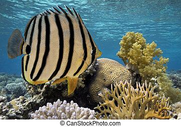 珊瑚礁, 以及, 熱帶魚, 在紅里, 海