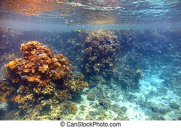 珊瑚礁, 在, 紅海