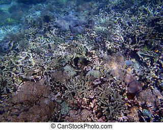 珊瑚礁, 在, sulawesi