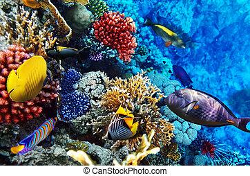 珊瑚, 以及, fish, 在紅里, sea., 埃及, 非洲。