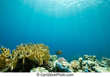 珊瑚, 以及, fish, 大約, sha\'ab, mahmud