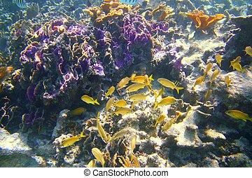 珊瑚, 加勒比海, 礁石, mayan 里維埃拉, 咕嚕聲 魚