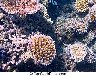 珊瑚, 在, the, 大堡礁, 在, 澳大利亞
