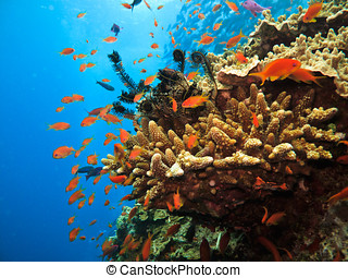 珊瑚, 小丑, 海葵, 礁石, fish(amphiprion, 紅色, ocellaris)