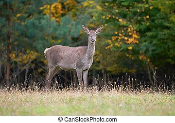 環境, 鹿, 自然, 赤, 女性