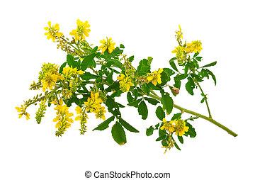 甘い, melilotus, officinalis, (yellow, clower), 薬効がある, plant: