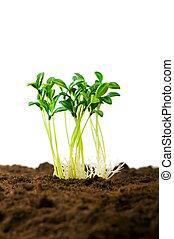 生活, 概念, 例証すること, 実生植物, 緑, 新しい