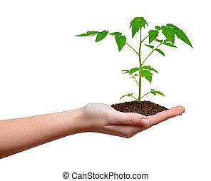 生長, 植物, 在, 手, 被隔离