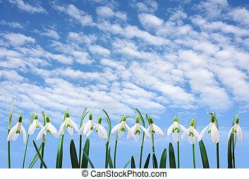 生长, 行, 云, 天空, 团体, 花, 结束, snowdrop