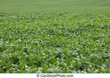 産業, 成長する, field., 農業, 大豆, 緑