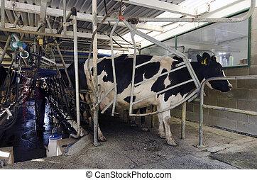 産業, 牛, -, 搾り出すこと, 搾乳場, ファシリティ