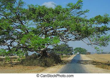 田舎, 大きい木, myanmar., routh