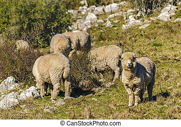 田舎, sheeps, maldonado, ウルグアイ