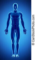男性の数字, 中に, 解剖, ポジション