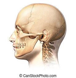 男性, 人的 頭, 由于, 頭骨, 在, 鬼, 影響, 邊, 觀點。