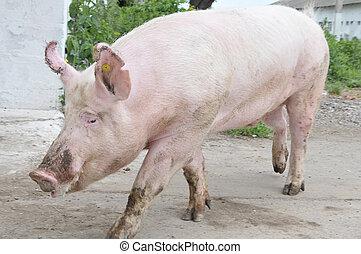 男性, 豬