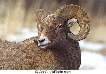 男性, bighorn羊
