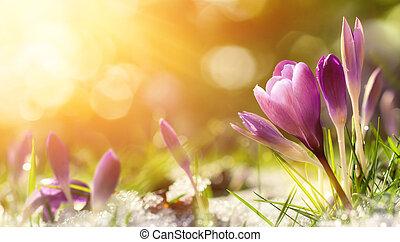 番紅花, 花, 在, 雪, 喚醒, 在, 溫暖, 陽光