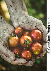 番茄, 收穫, 在, 秋天