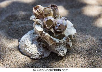 異常, 殼, 岸, andaman 海, 發現