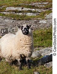 発情する, sheep