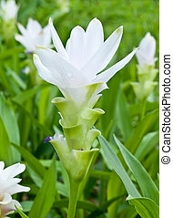 白いチューリップ, シャム, flower.