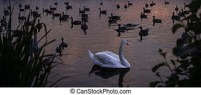 白い白鳥, 日没