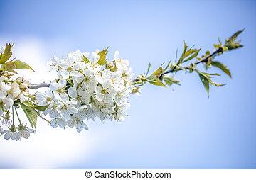 白い花, さくらんぼ