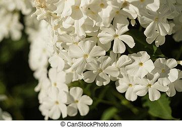 白い花, に対して, 柔らかい, 背景