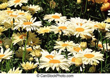 白い花, マーガレット, 背景