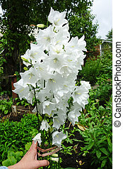 白い花, 庭, 鐘