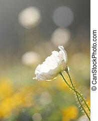 白い花, 牧草地