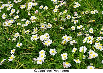 白い花, 緑の採草地, デイジー