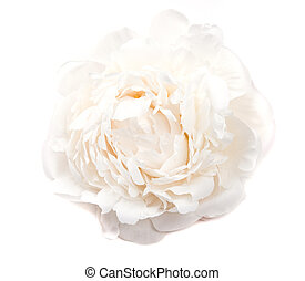 白い花, 背景, 隔離された, シャクヤク