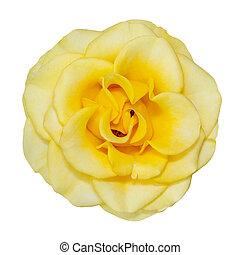 白い花, 背景, 隔離された, 黄色