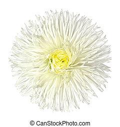 白い花, 隔離された, デイジー