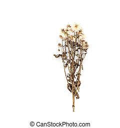 白い花, 隔離された, 背景, 乾かされた