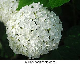 白い花, hortensia, アジサイ