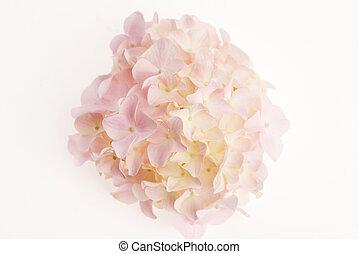白いhydrangea