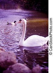 白的天鵝, 美麗, 湖
