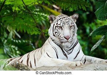 白的孟加拉虎