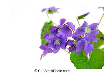 白的背景, 紫罗兰