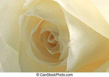 白的rose