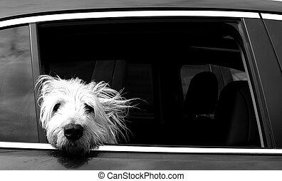 白色的狗, 在汽車中, 窗口